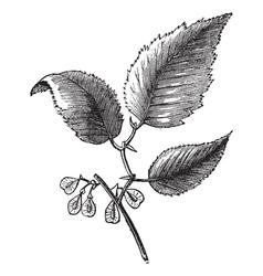 Slippery elm vintage engraving vector image