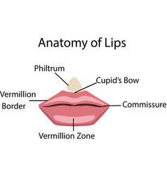 anatomy of lips vector image