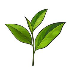 hand drawn fresh green tea leaf bud twig vector image vector image