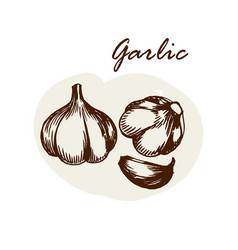 hand drawn garlic herbs and spices sketch vector image