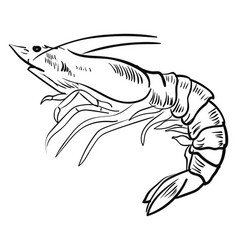 shrimp drawing on white background vector image