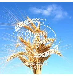 wheat ears spikes design background vector image