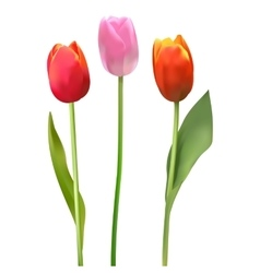 Beautiful colorful bouquet of tulips Tulip on vector image