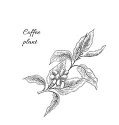 coffee plant with seeds coffee brunch vector image
