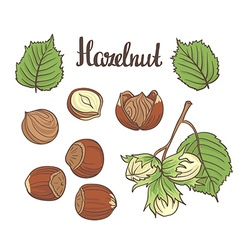 Set of detailed hand drawn hazelnuts isolated on vector image