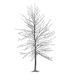 silver maple not pruned since setting out vintage vector image vector image