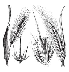 Common barley vintage engraving vector image vector image