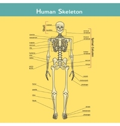 Human Skeleton with explanations vector