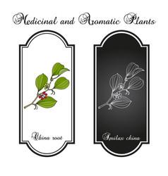 china root smilax china medicinal plant vector image