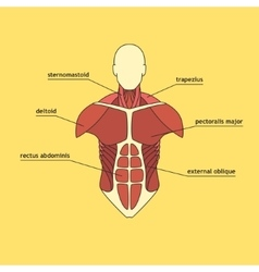 Muscle system human thorax vector