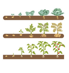 Tomato cabbage and potato plant growing and vector