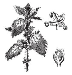 Stinging nettle vintage engraving vector image vector image