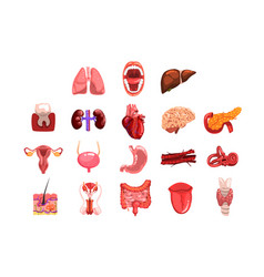human internal organs sett tooth heart bladder vector image