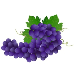 image of violet grape with green leaves vector image