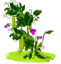 pea bush vector image