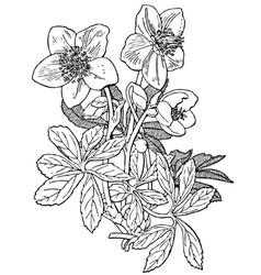 plant helleborus niger vector image