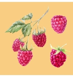 Watercolor hand drawn raspberries vector