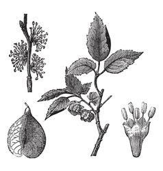 Elm vintage engraving vector image vector image