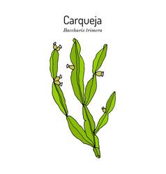 Carqueja baccharis trimera medicinal plant vector