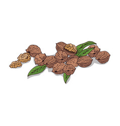Isolated clipart walnut vector