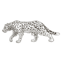 leopard with spots on fur still cheetah or tiger vector image
