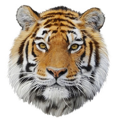 tiger head hand draw and paint vector image