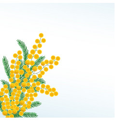 yellow mimosa flower branch isolated on white vector image