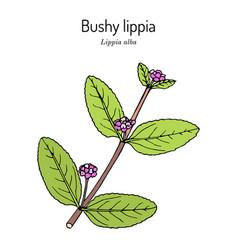 Bushy lippia lippia alba medicinal plant vector