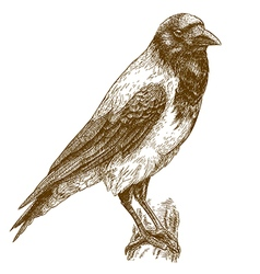 Engraving crow vector