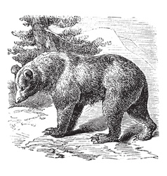 Cinnamon bear vintage engraving vector