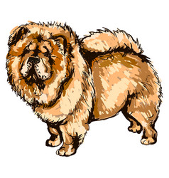 Dog breed chow-chow vector