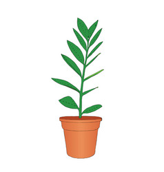 hand drawn zamioculcas room flower in pot vector image