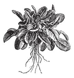 Common Sorrel vintage engraving vector image