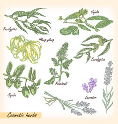 cosmetic herbs set vector image