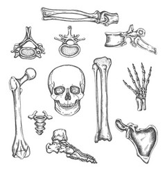 Human skeleton bones and joints sketch vector