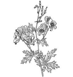 plant aconitum variegatum vector image vector image