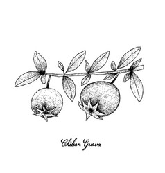 Hand drawn of fresh chilean guava fruits vector