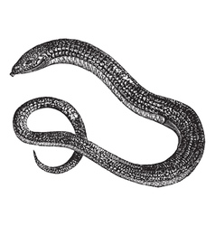 Eastern Glass Lizard vector image vector image