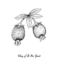 Hand drawn of cherry of the rio grande vector