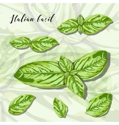 Leaves of herb basil isolated on white background vector