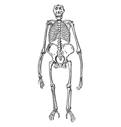 Front view of gorilla skeleton vintage vector