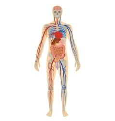 Human anatomy man on white vector