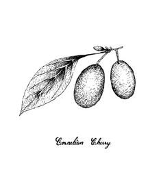 Hand drawn of cornelian cherries on white backgrou vector