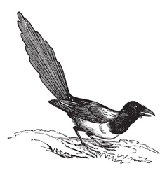 Magpie Pica vintage engraving vector image
