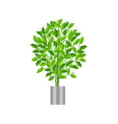 benjamin ficus deciduous plant in flowerpot vector image