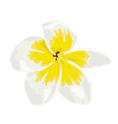 plumeria white frangipini vector image