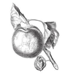 A hemskirke apricot vintage vector