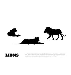 black silhouette of lions on a white background vector image vector image