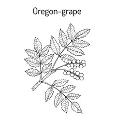 Oregon grape mahonia aquifolium vector