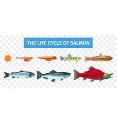 life cycle salmon set vector image